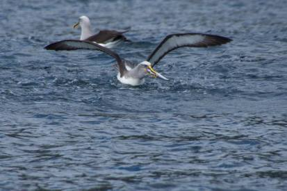 Buller's Albatross eating a fish